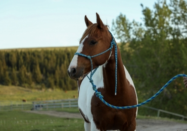 4 Year Old APHA Mare