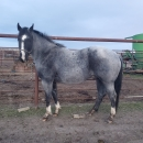 Blue roan stallion standing at stud