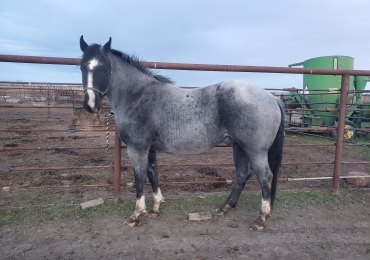 Blue roan stallion standing at stud