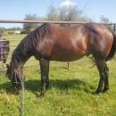 Grade ranch gelding, been there done that