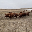 Simmental / Red Angus Bred Heifers