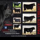 Black Angus Bulls For Sale Private Treaty