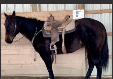 Barrel / Head Horse Prospect