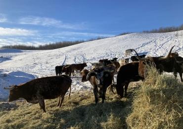 Bred Longhorn Cows