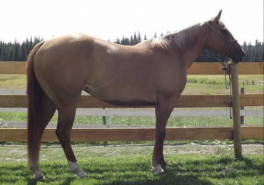 12 year old qh mare
