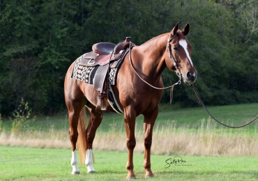 6 yr old ranch riding, performance gelding for sale