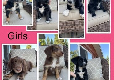 Border Bernedoodle Puppies