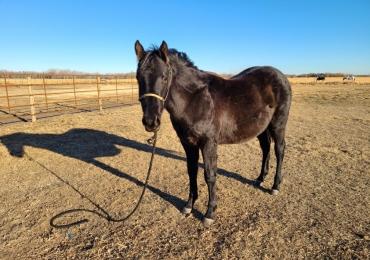 Barrel/Rope Horse Prospect
