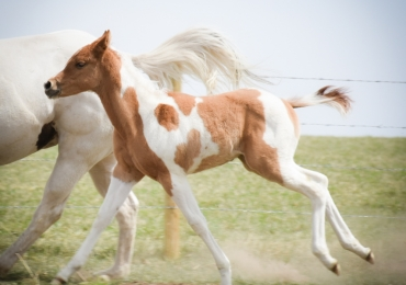 Reining colt
