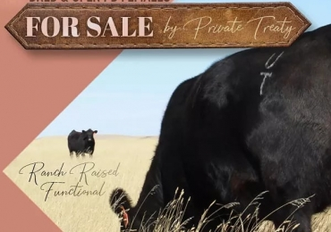 Bred and Open PB Black Angus Heifers